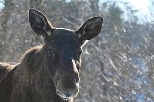 Moose Winter